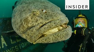 Meet the Goliath Grouper Fish