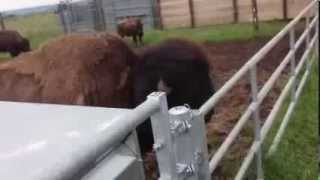 Les bisons de Harry's Farm