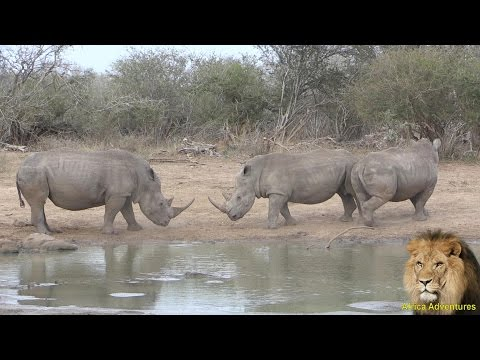 Rare White Rhino Fighting