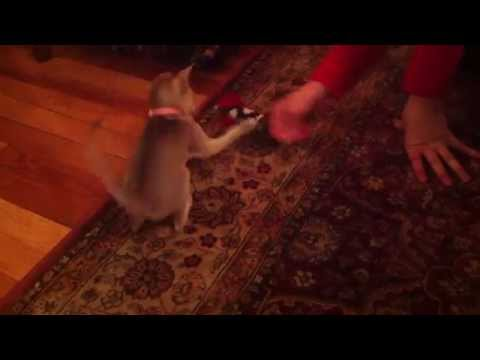 Lily Singapura Kitten Pt. 2 - Catnip Mouse Toy! - (Smallest Cat Breed!)