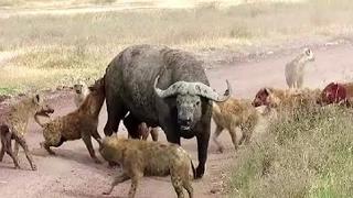 水牛対ハイエナ - 攻撃をTerríveis 水牛対ハイエナ - 攻撃をTerríveis ...