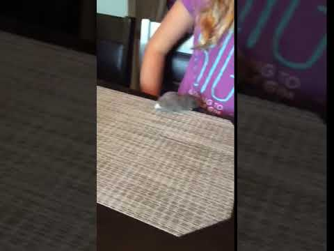 Hamster escapes cat