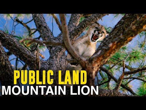 PUBLIC LAND MOUNTAIN LION HUNT - Part 1
