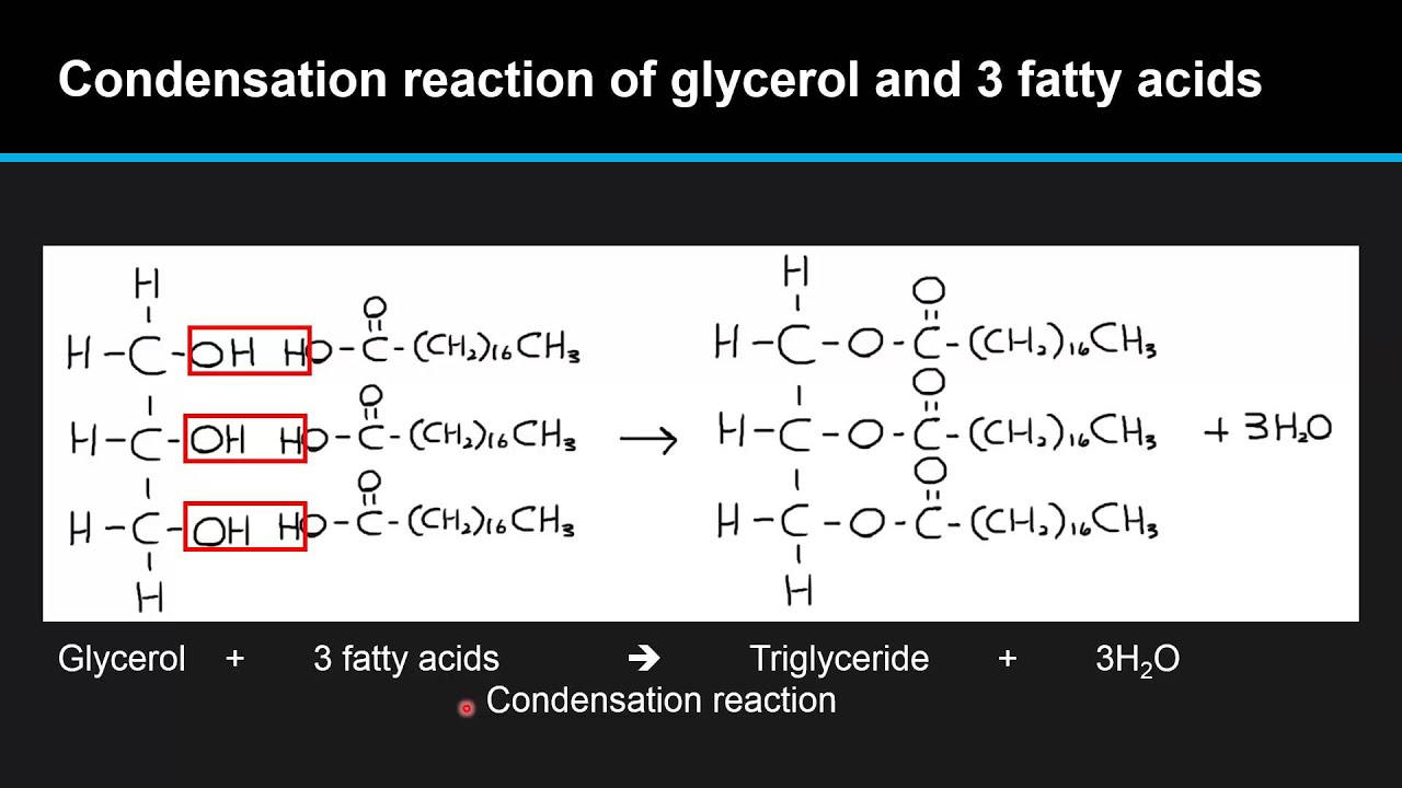B.4.6 Describe the condensation of glycerol and three fatty acid ...