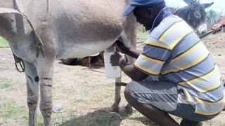 Eşek Sütünün 10 Faydasını Biliyor muydunuz?