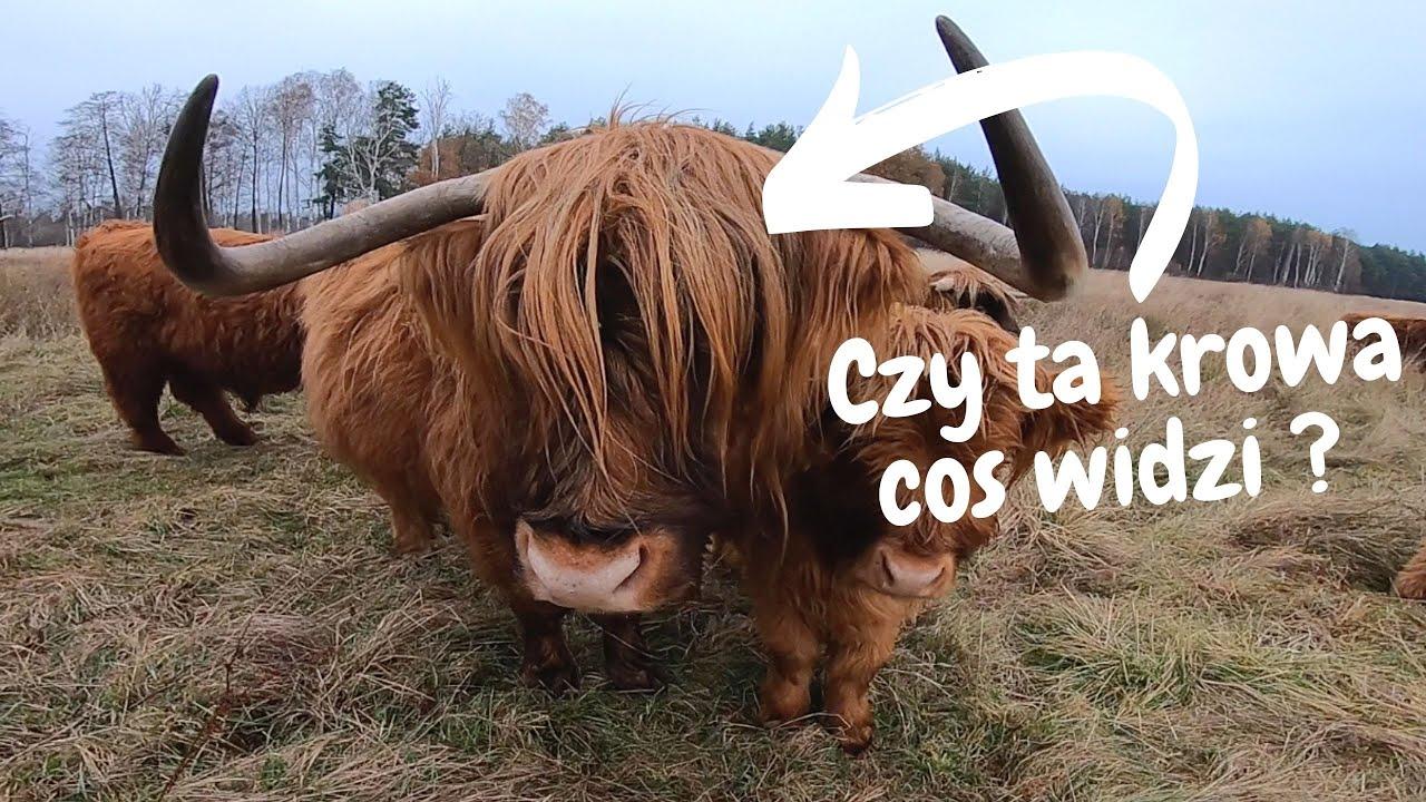 Jak widzą Szkockie Krowy. Odpowiedź na pytanie widzów #1