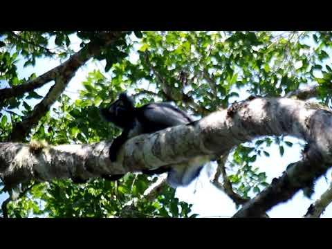 Indri (Mantadia-Andasibe NP)