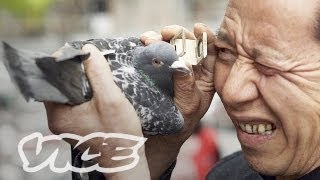 Download China's Millionaire Pigeon Racers (Full Length) Mp3 and Videos