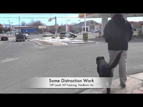 """Working German Shepherd/Lab Mix """"Gunner:"""" High Traffic Distractions and 100+ Yard Extended Down"""