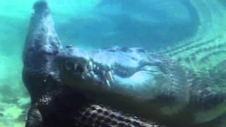 Спаривание гребнистых крокодилов LCB1_Educational movie is used on batrachos.com