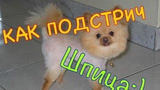 Как подстричь ШПИЦА. Груминг ШПИЦА или КАК Я СТРИГУ СОБАКУ. Grooming Pomeranian