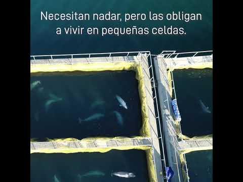 Estos cetáceos están encerrados en una cárcel