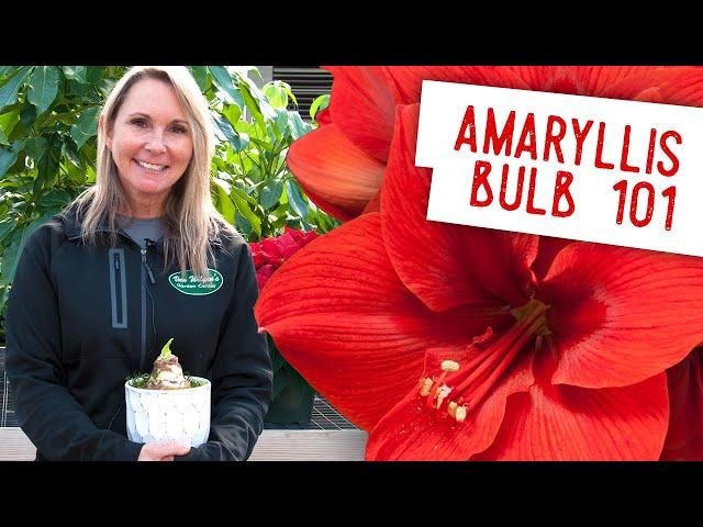 Demystifying the Amaryllis Bulb