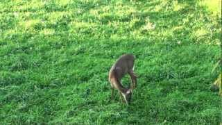 Archery Deer Hunt Bow Kill 2011 Pa  Pt #2