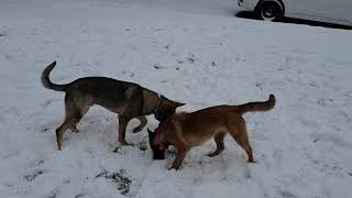 Malinois vs German Shepherd the DIFFERENCES