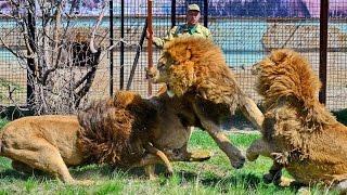 Тайган выпустил львов из вольеров. Крым 2017