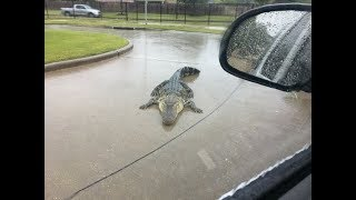 Texas floods : Gators in the streets of Houston, animals  are displaced by the floodings,