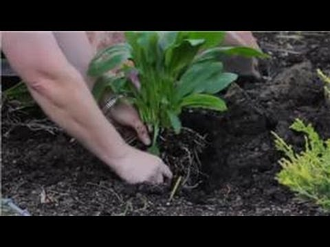 Lilies More How To Plant Calla Lily Flowers Youtube
