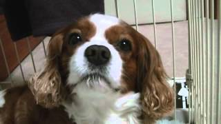 愛犬 キャバリアキングチャールズスパニエル です、食事が済んだばかり...