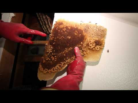 How to remove 50 000 bees from inside your wall