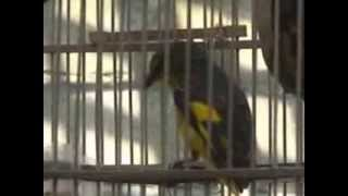 burung sepah hutan atau mantenan