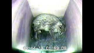 福岡市動物園 ツシマヤマネコの出産 ツシマヤマネコ 検索動画 29