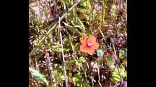 видео Анагаллис: фото цветов, выращивание из семян, посадка и уход