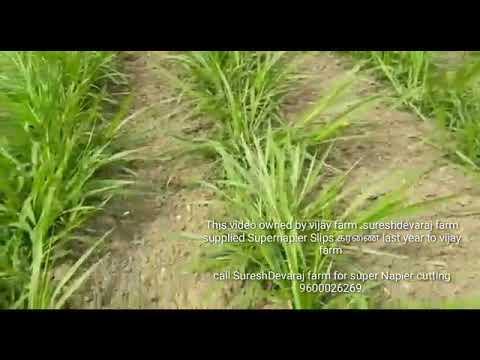 Super napier how to plant