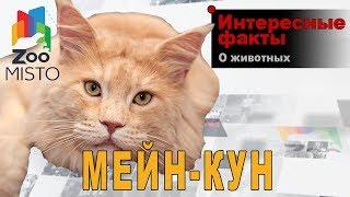 Мейн-кун - Интересные факты о породе  | Кошка породы мейн-кун