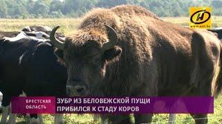 Зубр прибился к стаду коров в Кобринском районе