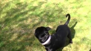 Staffordshire Bull Terrier And Cat