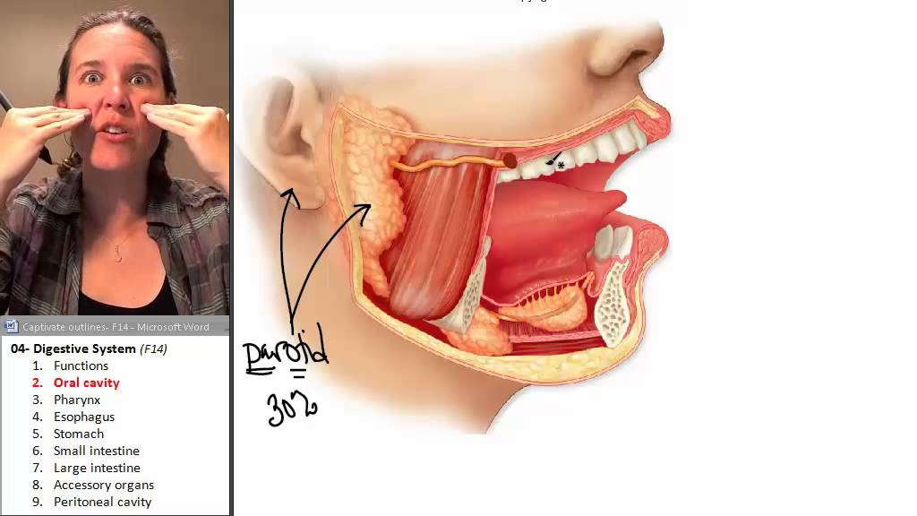 Oral Cavity Digestive System Human Anatomy Course Youtube