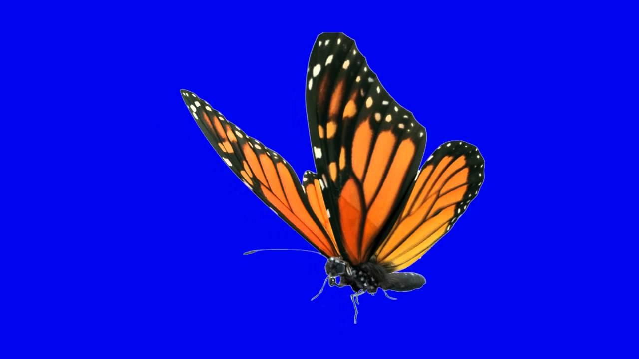 free green screen butterfly motion hd youtube