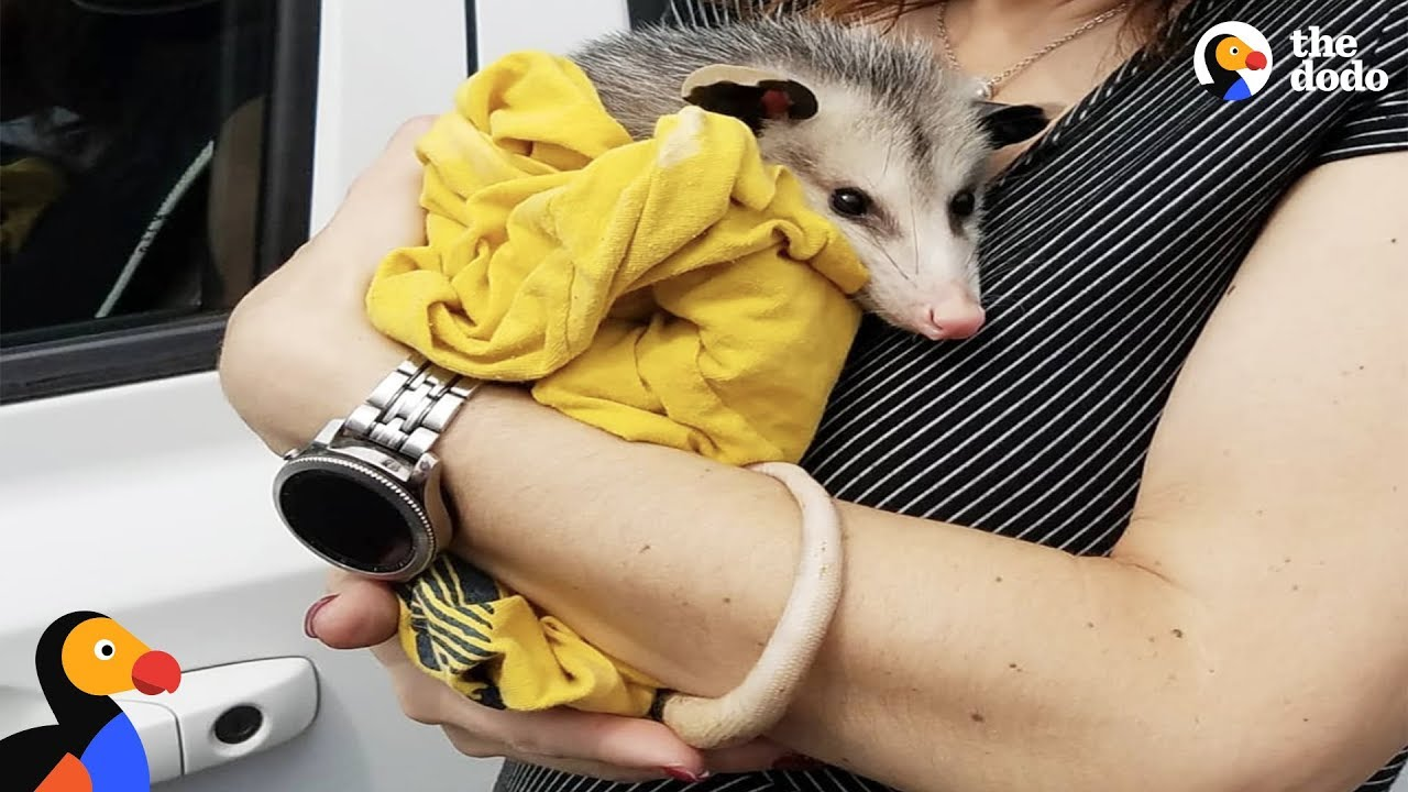 Woman Rescues Possum And Raises Him Like Her Own | The Dodo