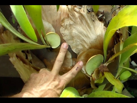 how to cut pups from staghorn fern
