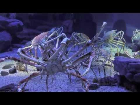 Giant Spider Crab at Osaka Aquarium Kaiyukan