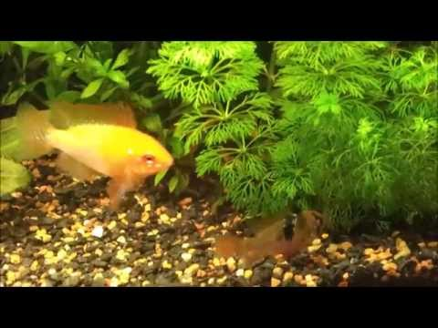 Fish Courtship Displays And Breeding Behaviour - Golden Ram Cichlid Male Wants A Wife.