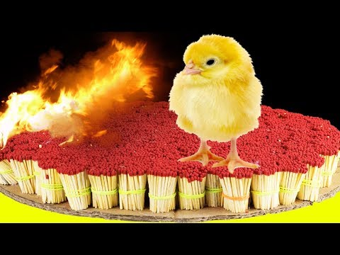 EXPERIMENT 50,000 SAFETY MATCHES vs CHICKEN