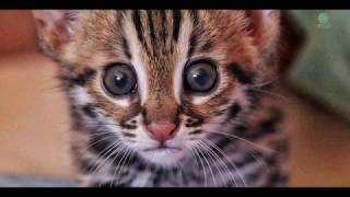 Orphaned leopard cat first moment in the jungle : Cambodia Wildlife Sanctuary