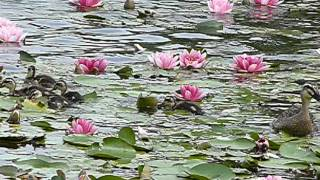 Water lily flowers and Spotbill Duck family.睡蓮の花とカルガモ一家...