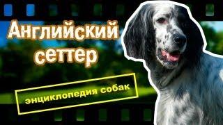 Английский сеттер. Энциклопедия собак.