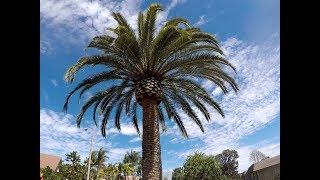 Otro trabajo de palma Canariensis, another job of Canary Island Date Palm