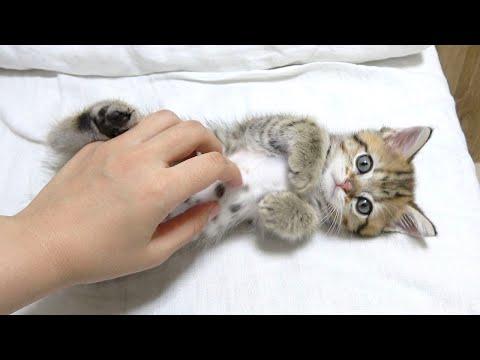 家にきて1時間後にはへそ天して甘えちゃう子猫!