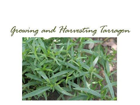 Growing and Harvesting Tarragon
