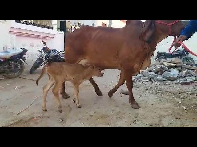 Rajasthan arawli dairy farm sell gir cow 9414745465