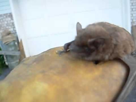 Big Brown Bat Identification