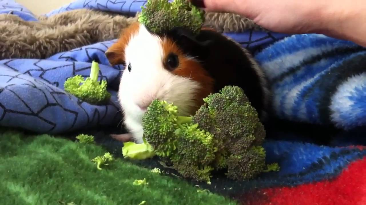 Image result for guinea pig eating broccoli