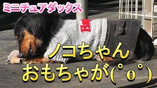 【ミニチュアダックス】ノコちゃんもお気に入りのオモチャ(*´▽`*)