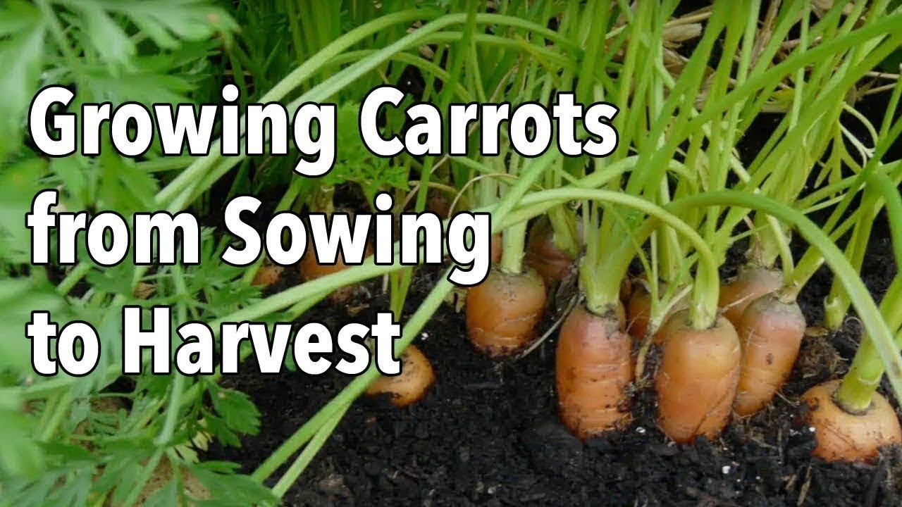 Growing Carrots From Sowing To Harvest Youtube