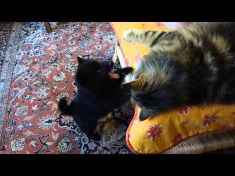 Chiot Schipperke jouant avec les chats Maine Coon et Siamois